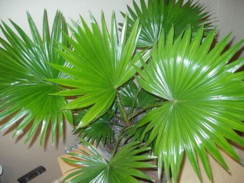 Palm Livistona Chinese indoor Flower Seeds from Ukraine