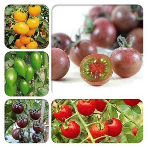 100 stk Regenbogen Tomate Samen bunte Bonsai Bio Gemüse Samen Garten