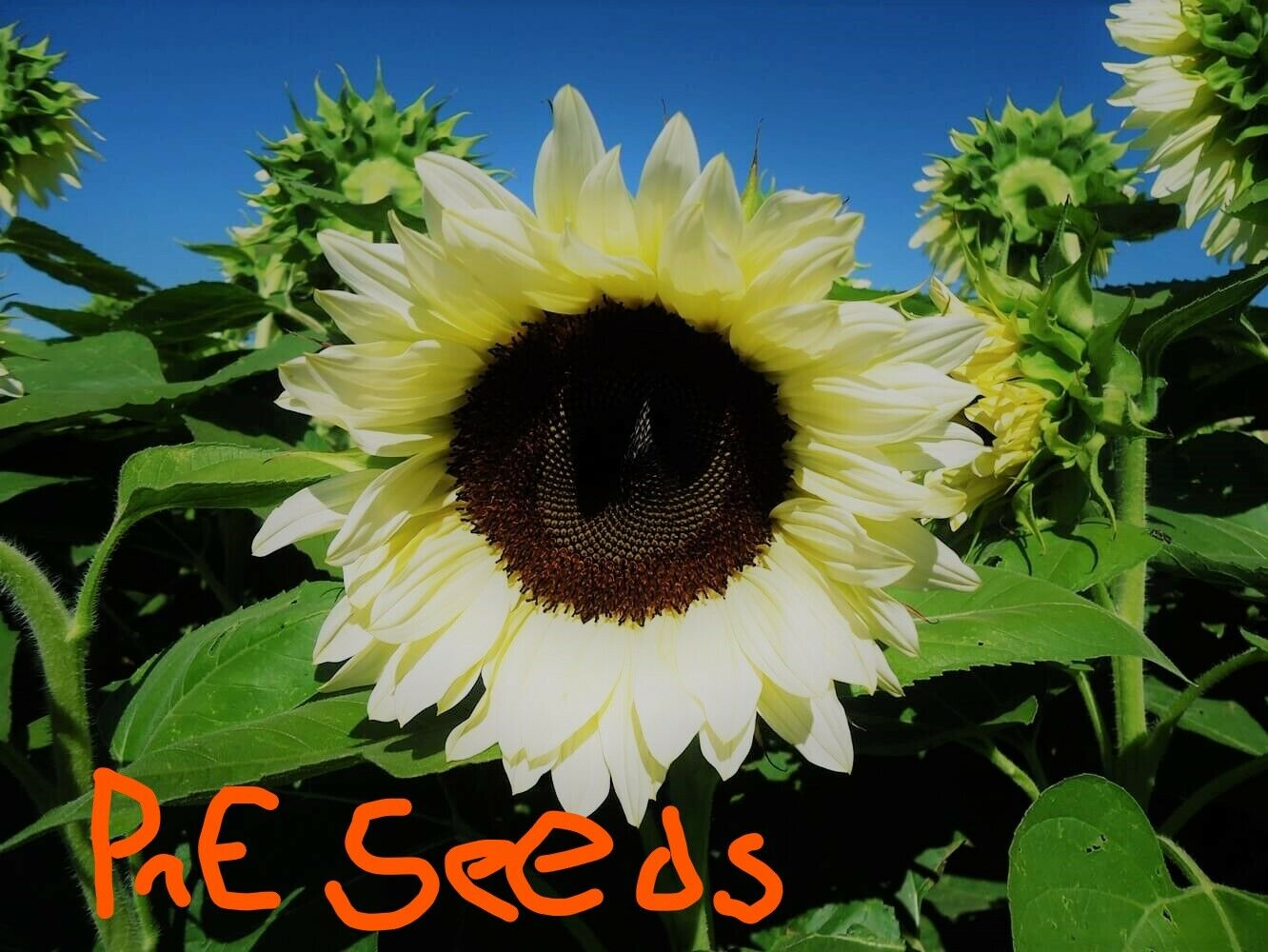 white Nite sunflower seeds 10 per pack ~~ ships within 48 hrs~~~ USA