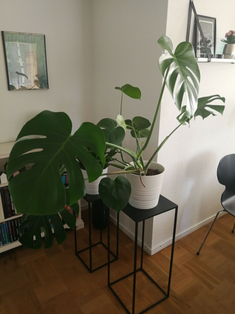 Potteplante, Monstera Deliciosa/ bloggerplanten,…