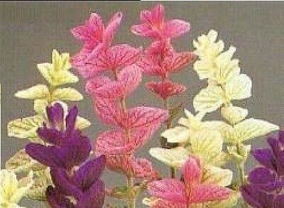Herb - Suffolk Herbs - Sage Painted Seed - Salvia horminum - Pictorial Packet