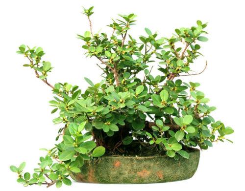Ficus hispida Rare Fig Tree Seeds Tropical Plant Ornamental Bonsai or Standard