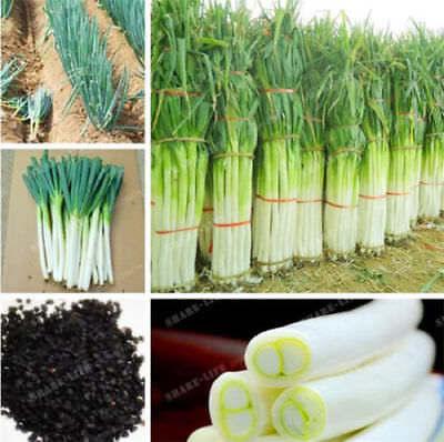 100 PCS Giant Onion Seeds Organic Vegetable Garden Bonsai Plant S130