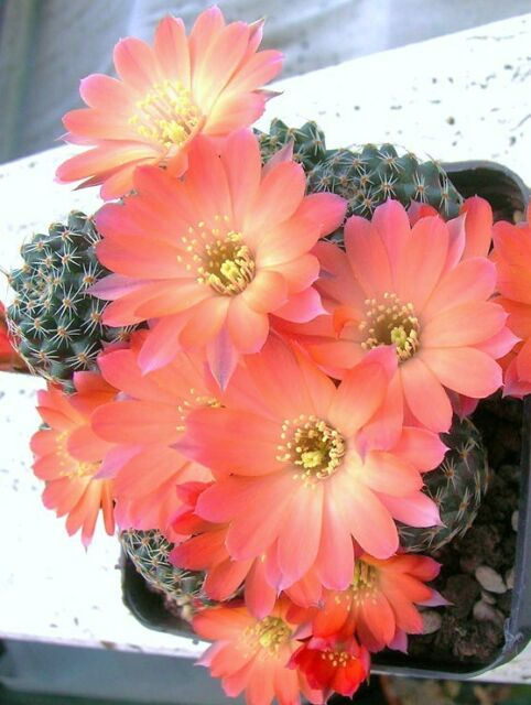 Lobivia haagei rare rebutia cactus plant flowering succulent cacti seed 50 seeds