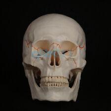 Life Size Human Head Skull Model Skeleton Medicine Anatomy Teaching Supplies
