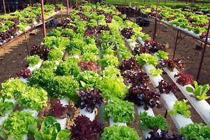 100-Seeds-Spinach-Spinacia-oleracea-Herb-Plants-Edible-Vegetables-in-Home-Garden