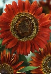 Flower-Sunflower-Red-Sun-100-Seeds