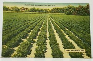 TEXAS Peanut Fields Dhowing Row Formations The Lone Star State Postcard I7