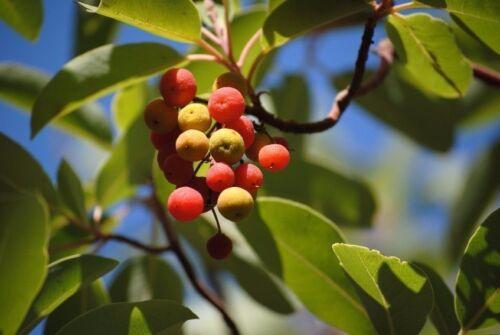 Il bellissimo erdbeerbaum si può anche come bonsai trascinamento!