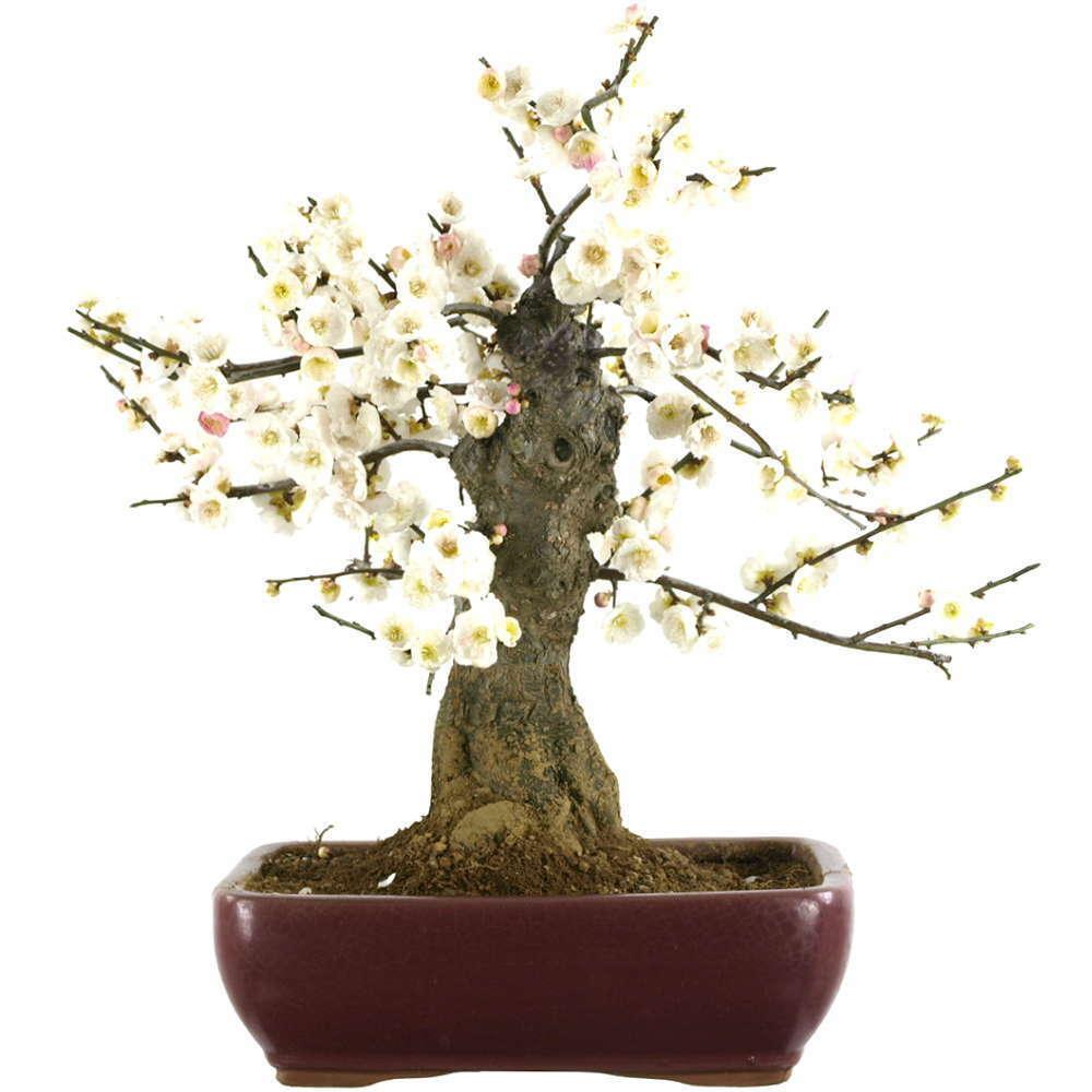 Abricot japonais, Bonsaï, 18 ans, 42cm (181-12)