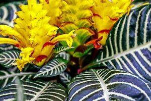 Aphelandra-Snow-White-Zebra-Plant-Exotic-amp-Unusual-House-Plant-4-034-Pot-Indoor