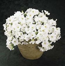 Petunia Easy Wave White Annual Seeds