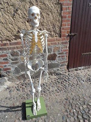 Somso Skelett Modell Mensch Knochen Lehrmodell ...