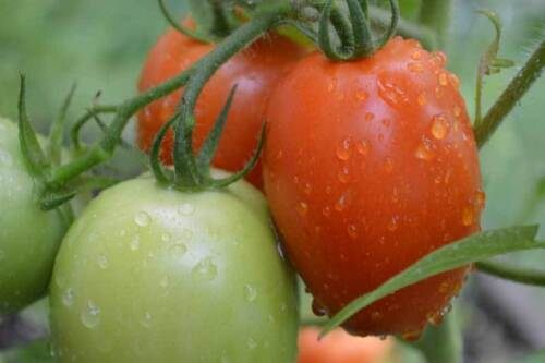 Organic Roma Tomato Small Seed 100ct Excellent flavor USA Produced