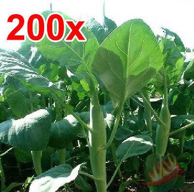 200 Seeds Kailaan Chinese Broccoli Kale Kai-Lan Gai Lan Thai Cantonese Greens