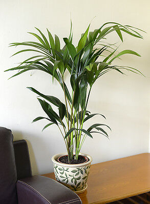 Indoor Plant-House or Office Plant-Howea Forsteriana Kentia Palm Apprx 95cm tall