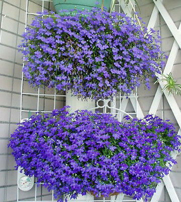 woo-wall 100 Lobelia Erinus Flower Seeds Plant DIY Garden Home