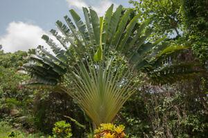 exotische-Palmen-Raritaet-Saatgut-seltene-Balkon-Pflanze-BAUM-DER-REISENDEN