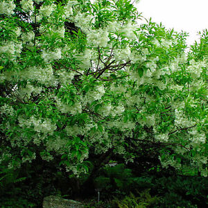 White fringe tree chionanthus virginicus seeds showy fragrant image is loading white fringe tree chionanthus virginicus seeds showy fragrant mightylinksfo