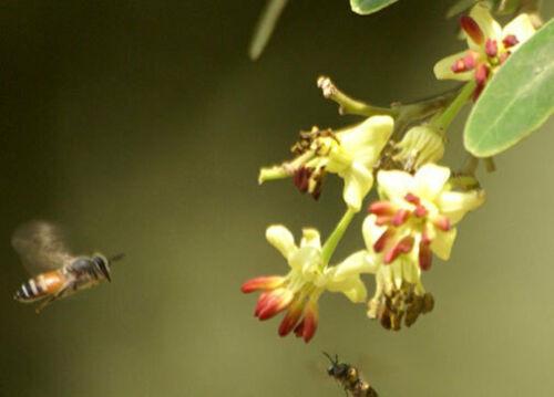 Limonia acidissimaElephant AppleMonkey Fruit10/_Seeds