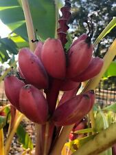 Musa velutina Plant Seeds Now or Save Seeds for Years Pink Banana Seeds 5+ Rare Tropical Plant Seeds Packed in FROZEN SEED CAPSULES for the Gardener /& Rare Seeds Collector