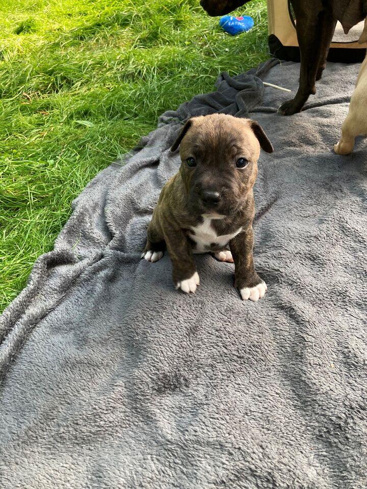staffordshire bull terrier/ miniature Bull terrier,