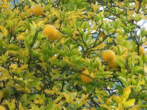 Poncirus-trifoliata-winterharte-Bitterorange-70-80cm