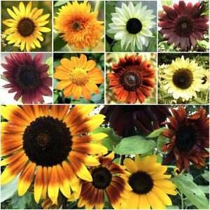 1,000+ Sunflower Seeds for Planting - JUMBO Mix - (Helianthus annuus) Non-GMO