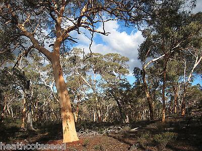 POWDER-BARKED WANDOO (Eucalyptus Accendens) Seeds