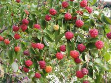 Cornus kousa chinensis (10 graines/seeds )
