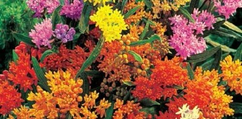 30+ BUTTERFLY WEED FLOWER SEEDS MIX / ASCLEPIAS / PERENNIAL / GREAT GIFT
