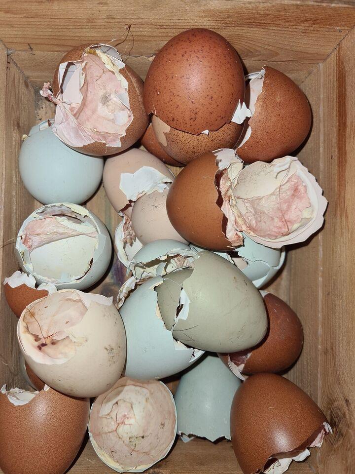 Kyllinger, 12 stk.