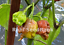 Carolina-Reaper-Chocolate-Chilli-Australian-Grown-Seeds-Not-Imported
