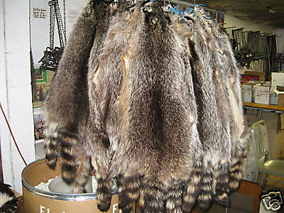 """Tanned /"""" Split Open Raccoon Hides  Trapping Furs Hats Red /&  Green Tag"""