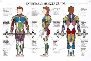 Musculature anatomy chart silk cloth poster 20 x13 decor 19 ebay
