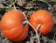 20-Seeds-Pumpkin-Pepitas-Gourd-Cucurbita-Rare-Vegetables-Edible-Organic-Gardens thumbnail 4