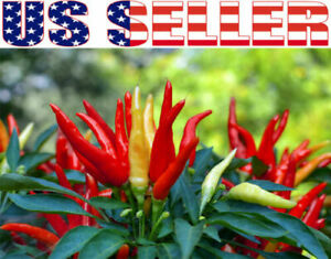Details about 30+ ORGANICALLY GROWN Poinsettia Red Hot Pepper Seeds NON-GMO  USA Santaka Chili