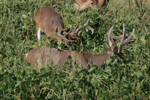 1 lb Whitetail Institute IMPERIAL POWER PLANT Throw Seeds /& GROW Deer Food Plot