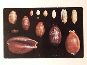 Shells-Of-Florida-And-The-Gulf-Of-Mexico-Postcard-Sanibel-FL-Postmark-March-13