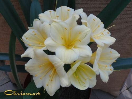 Clivia N°17    Recurved Yellow N°1 x Millet A seedling with 3//5 leaves
