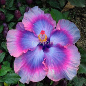 Double Flower 100pcs Hibiscus Exotic Coral Seeds Home Garden Flowers