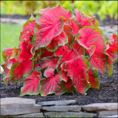 Caladium Bicolor 30 Pcs Seeds Bonsai Colocasia Plant For Home Garden No Tax New