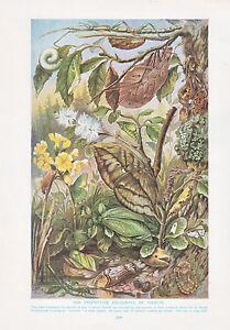 1910-Naturale-Storia-Double-Sided-Stampa-Chameleon-Colorare-Di-Insetti