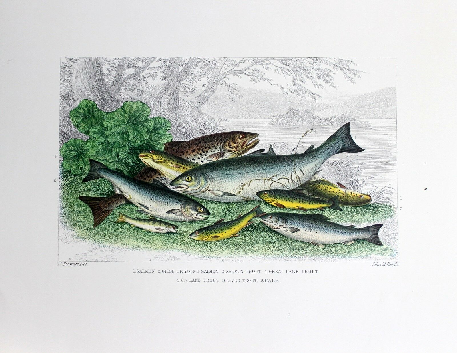 J Stewart Lithograph  Limited Edition Atlantic Coast Salmon And Trout 1974 Rare  not to be missed!