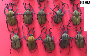 BO03 # lot of 10pcs beetle Cetonidae Herculasia Dicranocephalus wallichii