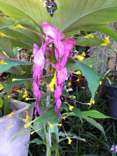 NEW!2-Globba-Pink-Purple-Flower-Winthii-Rustic-Globba Thailand