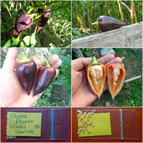 EXTRA RARE Unique! Sweet Pepper /'/'Violet Sparkle/'/' ~25 Top Quality Seeds