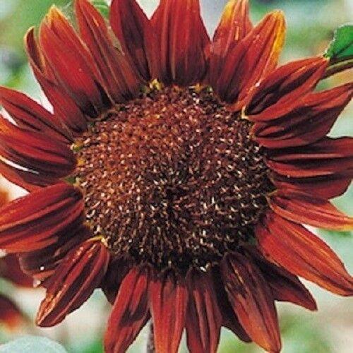 Sunflower Chocolate 25 grams Bulk appx 750 seeds Helianthus annuus