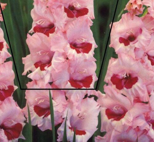 Flowering Bulbs Perennials Gladiolus Bulbs Green Star 5