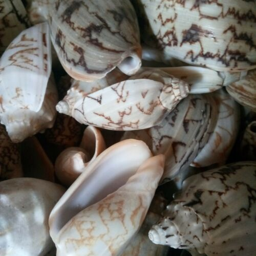 Aquarium Shell 250g Wholesale Shells Bat Wings Shells Wedding Shell Craft